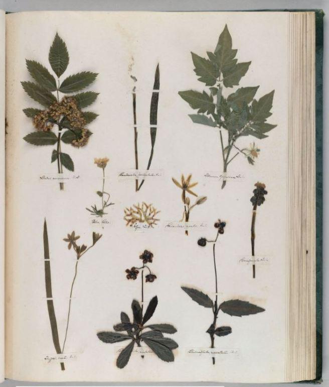 emily-dickinson-herbarium